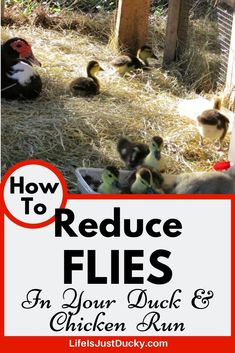 Do you want a clean, healthy, easy to care for duck or chicken coop and run? Fewer flies in the chicken run? Then you need the deep litter method. Chicken Coop Run, Chicken Garden, Chicken Life, Backyard Chicken Coops, Chicken Runs, Raising Ducks, Raising Rabbits, Raising Backyard Chickens, Keeping Chickens