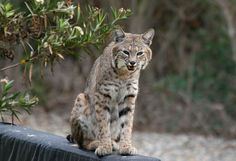pictures of lynx and bobcats | Bobcat, Lynx rufus