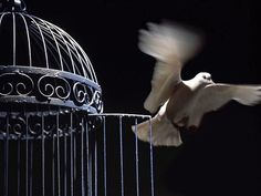 Freedom… A white dove is released...