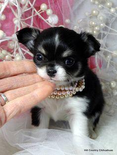 Long Haired Chihuahua Puppies, Chihuahua Breeders, Teacup Chihuahua Puppies, Teddy Bear Puppies, Chihuahua Puppies For Sale, Teacup Puppies For Sale, Cute Chihuahua, Free Puppies For Adoption, Pet Adoption