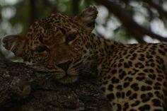 Inkanyeni had a duiker kill up a Marula tree for a few days