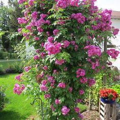 'Perennial Blue', bis 2m; zeigt halb gefüllte Blüten in lila-rosa bis violett, die gut duften.
