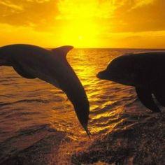 Beautiful Ocean And Marine Life Full Of Colors ~ Whatz Amor Animal, Mundo Animal, Bottlenose Dolphin, Beautiful Sunrise, Beautiful Ocean, Mellow Yellow, Ocean Life, Marine Life, Sea Creatures