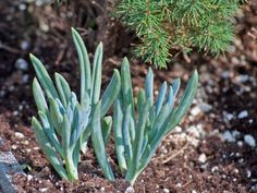 Blue Chalk Plant