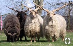 The Racka is a breed of sheep known for its unusual spiral-shaped horns. These unique appendages are unlike any other domest… Farm Animals, Animals And Pets, Funny Animals, Cute Animals, Alpacas, Beautiful Creatures, Animals Beautiful, Photo Animaliere, Sheep Breeds