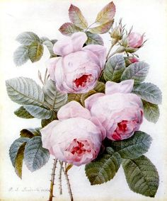 botanical paintings by Pierre Joseph Redoute (1759-1840) Belgian painter and botanist known for his watercolors