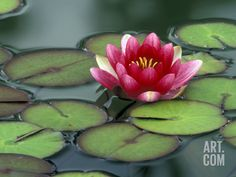 Water Lily and Pods at the Woodland Park Zoo Rose Garden, Washington, USA Photographic Print by Jamie & Judy Wild at Art.com
