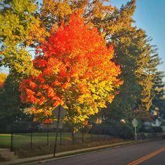 #instagramELE #ruta  En mi ruta diaria al trabajo paso por unos árboles preciosos sobre todo ahora en el otoño. #SP101F15 #SP211F15