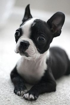 okay, so I've always loved Boston Terriers.    I love boxers, pit bulls, Newfoundland, bull mastiffs, etc. but I've always loved Boston Terriers for one reason. they are irresistibly adorable...:)
