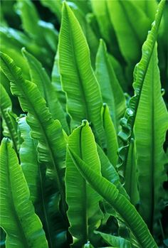 Asplenium scolopendrium - Harts tongue fern. RHS Award, British fern. I grow this in London and Suffolk