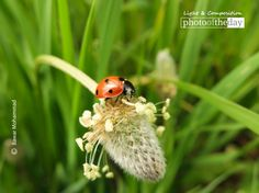At the beginning of spring season you can spot the ladybugs almost everywhere in nature in the city of Duhok. They are commonly yellow, orange, or scarlet with small black spots on their wings. Beginning Of Spring, Spring Is Here, Black Spot, Seasons, Award Winner, Nature, Animals, Start Of Spring, Animaux