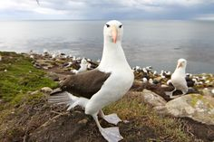 The albatross at The Rookary on Sanders Island were just beautiful and very happy to let you get close for that perfect photo
