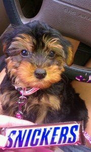 yorkie poo snickers when she came home