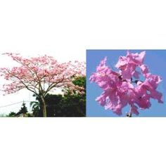Tabebuia Rosea (Pink Trumpet Tree)