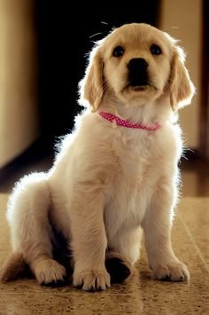 Golden Retriever Golden Retriever Price, Mini Golden Retriever, Golden Retriever Training, Golden Retrievers, Best Dog Food, Best Dogs, Labrador Mix, Corgi Mix, Buy A Dog