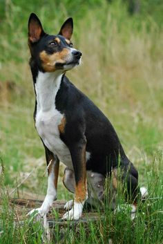 Tricolor is a popular pattern among dog lover-- black with white and tan points/marks/patches. Here are 25 tricolor dog breeds. Note: Black...