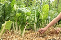 Le paillis - botanic® Permaculture, Oui, Celery, Vegetables, Mulches, Vegetable Gardening, Interview, Vegetable Recipes, Veggie Food