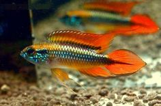 Apistogramma agassizii, one of several color variants of this dwarf cichlid.  Not easy to find, but fun to keep.