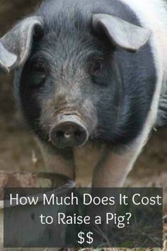 How Much Does It Cost To Raise a Pig? | Specific needs and information you have to know about pigs. #pioneersettler