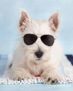 Rebel (West Highland Terrier) - Move over James Dean!