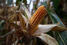 Inside the Cherry Crest Adventure Farm corn maze