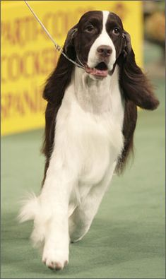 """Click visit site and Check out Best """"English Springer Spaniel"""" T-shirts. This website is outstanding. Tip: You can search """"your name"""" or """"your favorite shirts"""" at search bar on the top."""