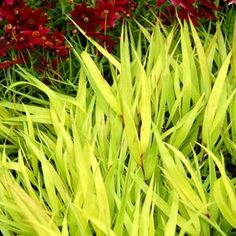 Buy Hakonechloa All Gold - Buy Hakone Grass Perennials Online. Garden Crossings Online Garden Center offers a large selection of Hakone Grass Plants. Shop our Online Perennial catalog today. Edging Plants, Garden Plants, Balcony Gardening, Container Gardening, Shade Perennials, Shade Plants, Amazing Flowers, Colorful Flowers, Hakone Grass
