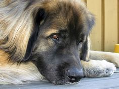 Leonbergers are fabulous dogs, great family pets if you have the room