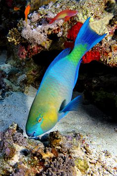 Photograph Parrotfish by Volkan Yenel on 500px