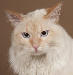 Pineapple is an adoptable Ragdoll Cat in Chicago, IL. Pineapple is a handsome and sweet, one-year-old, male, flame point Ragdoll-mix cat with lovely blue eyes looking for a loving guardian. Pineapple ...