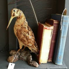 Check out this item in my Etsy shop https://www.etsy.com/uk/listing/288495009/vintage-taxidermy-bird-real-taxidermy