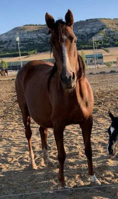 Yegua de cria preñada Horses, Animals, Show Jumping, Horses For Sale, Equestrian, Animales, Animaux, Horse, Words