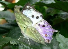 Mother of Pearl Butterfly Latin: Protogoniomorpha parhassus Family: Nymphalidae Origin: South & East Africa