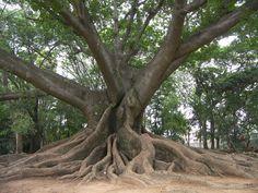 Ceiba Tree, Vieques, Puerto Rico