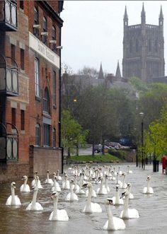 Inundações na Inglaterra, cisnes na rua - Worcester.
