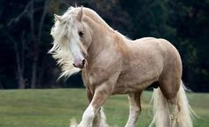 a very fine palomino. Palomino, Most Beautiful Horses, All The Pretty Horses, Clydesdale, Beautiful Creatures, Animals Beautiful, Primates, Gypsy Horse, Majestic Horse