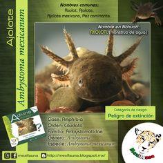 Ajolote (Ambystoma mexicanum): FICHA TÉCNICA MAYOR INFORMACIÓN: http://mexifauna.blogspot.mx/2014/08/ajolote-ambystoma-mexicanum.html