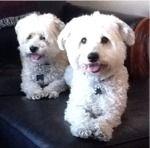 Ziggy & Marley in AZ - Adoption Pending - https://www.facebook.com/Havaneserescue/photos/a.147202781997479.41503.114120341972390/735492356501849/?type=1&theater