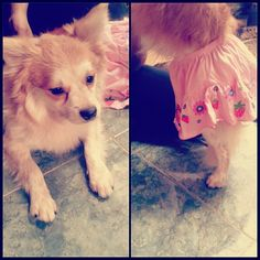 A puppy boy in my house. My mom like to gave him a skirt!