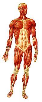 Sistema Muscular Láminas interactivas