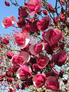 *UTAH ~ Magnolia Alexandrina ~ The only magnolia I know of that can grow in northern Utah....