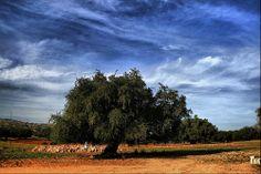 argania spinosa (argan tree)