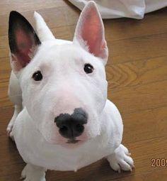 Beautiful white EBT puppy!!