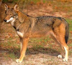 Red Wolf Facts | The red wolf is a smaller and a more slender cousin of the gray wolf ...