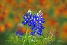 Texas Wildflowers - Texas Bluebonnets against Firewheels