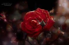 Rose rouge BC