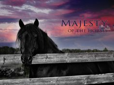 Majesty of the Canadian Horses - Cherry Creek Fonzie Revelstoke, stallion at Canadian Hay Ranch Canadian Horse, Black Canadians, Cherry Creek, Horses For Sale, Ranch, Animals, Guest Ranch, Animales, Animaux
