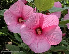 Pink Hibiscus (Hardy)