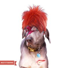 Dogs That Look Like David Bowie #getittobowie GetItToBowie.com