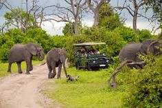 chobe botswana - jan on safari game drive make photo close to wild elephants on january 6 2008 in the chobe national park botswana. game drive is most popular way to see wild animal